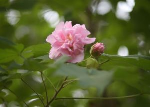 Lowcountry Confederate Rose